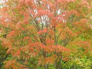 紅葉樹木の写真